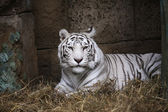 White Tiger In Zoo — Stock Photo
