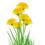 Постер, плакат: Dandelions In Grass