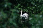 Swan Among Leaves — Stock Photo