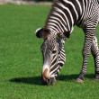 Zebra Eating Grass — Stock Photo