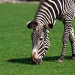 Zebra Eating Grass — Stock Photo #26308227