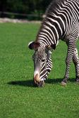 Zebra jedzenia trawy — Zdjęcie stockowe