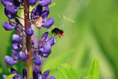 Flying Bumblebee — Stock Photo