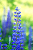 Blue Blooming — Stock Photo