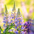 Blooming Lupines - Stock Photo