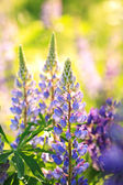 Blooming Lupines — Stock Photo