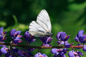 Cabbage White Butterfly — Stock Photo