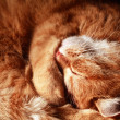 Cat Asleep — Stock Photo #33942153