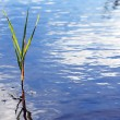 Sedge In Water — Stock Photo
