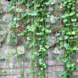 Green Ivy On Stone Wall — Stock Photo
