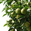 Seville Orange Tree — 图库照片