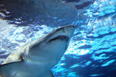 Žralok pod vodou — Stock fotografie