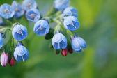 Blue Wildflower — Stock Photo