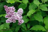 Lila lilac — Stockfoto