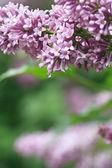 Purple Lilac — Stock Photo