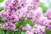Purple Lilac Background — Stock Photo