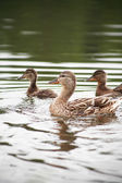Duck With Her Childs — Stock Photo