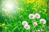 Downy Dandelions — Stock Photo