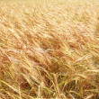 Wheat Field — Stock Photo #50629301