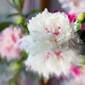 Beautiful peonies flower — Stock Photo