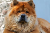 Brown chow-chow, chinese dog — Stock Photo
