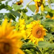 Sunflowers — Stock Photo #12732879
