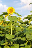 Sunflowers in the field with blue sky — Stock Photo