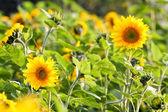 Zonnebloemen in veld — Stockfoto