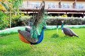 Peacock in garden — Stock Photo