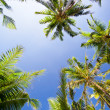 Top of palm trees - Stock Photo