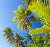 Top of palm trees on blue sky — Stock Photo