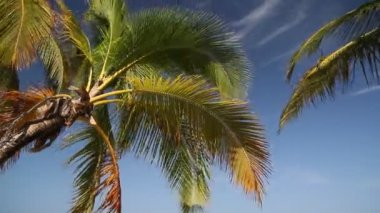 Palm crone on blue sky background — Stock Video