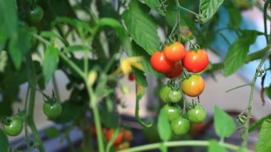 Green tomato in hothouse — Stock Video