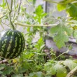 Stock Photo: Watermelon in hothouse