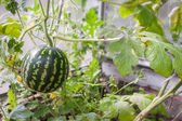Watermelon in hothouse — Stock Photo