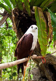 Brahminy Kite — Stock Photo
