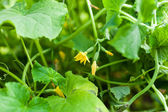 Flower of cucumber growing on beds in the garden — Stock Photo