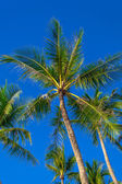 Palm tree on blue sky background — Stock Photo