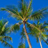 Palmträdet på blå himmel bakgrund — Stockfoto