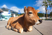 Calf on city's street — Stock Photo