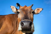 Head of cow closeup — Stock Photo