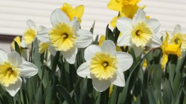 Narcissus flowers — Stock Video