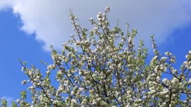 Apple tree with white blossom — Stock Video