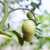 Green tomato in hothouse  — Stock Photo