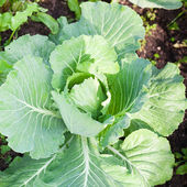 Cabbage on beds in the garden — Stock Photo