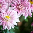 Pink flowers of aster — Stock Photo