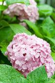 Pink hortensia — Stock Photo