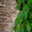 Ivy growing on old brick wall — Stock Photo