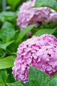 Růžový hortensia — Stock fotografie