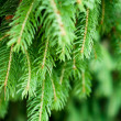 Pine tree — Stock Photo #28497267
